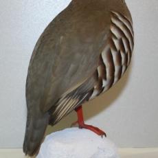 perdrix rouge, oiseaux
