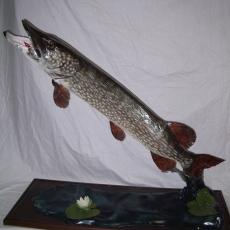 brochet poisson