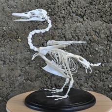 squelette de canard col vertDSC_0007 (1)