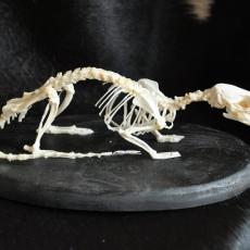 Squelette de rat surmulot