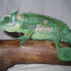 cameleon reptile