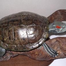 tortue reptile