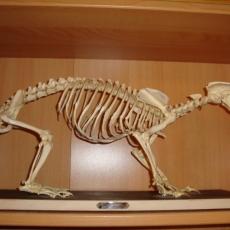 Squelette de blaireau